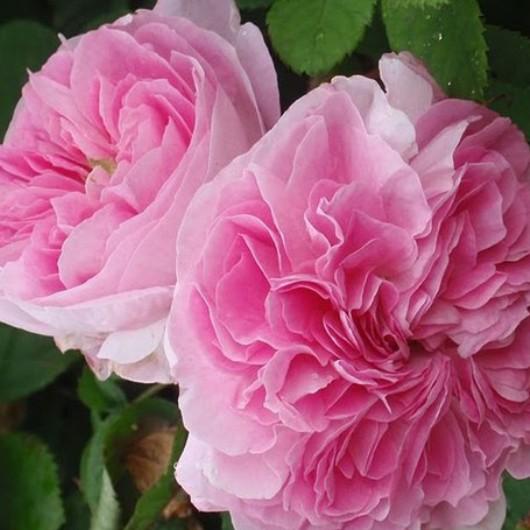 大马士革玫瑰精油 10ml